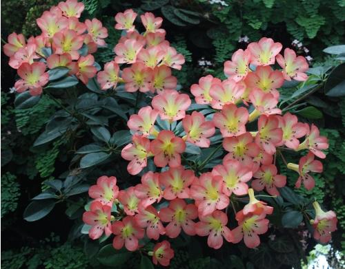 Vireya Rhododendron Currieochra